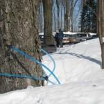 Esses são os canos que retiram o xarope das árvores.